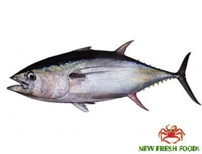 Cá Ngừ Nguyên Con Đông
