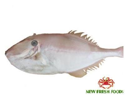 Cá Bò Da Nguyên  Con
