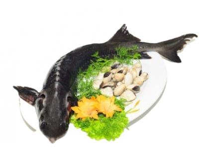 Cá Tầm Nguyên Con Sống