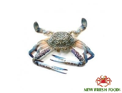 Live Blue Swimming Crab